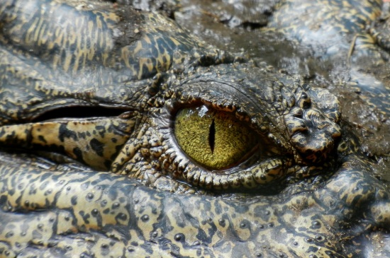 crocodile-eye-animal-nature-39068_jpeg